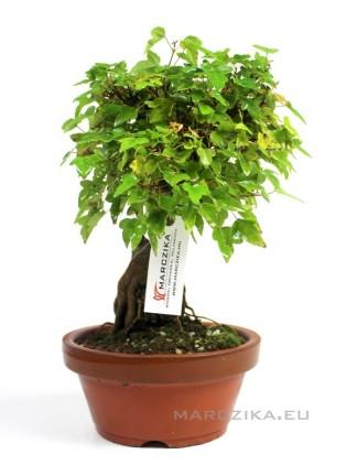 Acer buergerianum shohin prebonsai előanyag - sziklára ültetett sekijoju stílusban