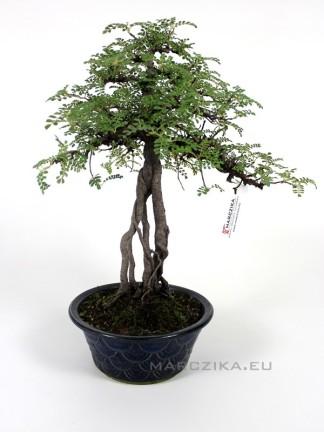 Osteomeles subrotunda neagari stílusú bonsai Japánból