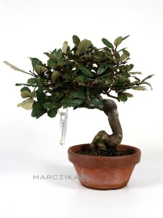 Elaeagnus pungens (Ezüstfa) bonsai előanyag