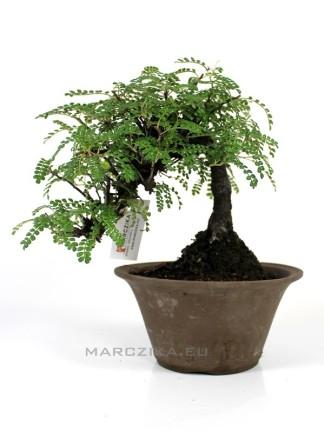 Osteomeles subrotunda shohin bonsai Japánból 02