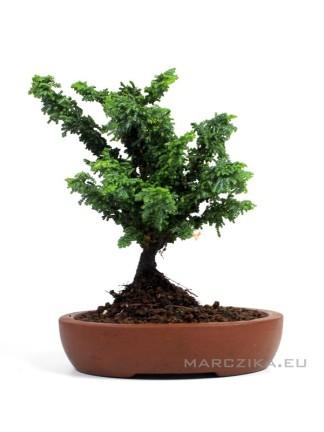 Japán shohin bonsai alapanyag - Chamaecyparis obtusa 'Sekka' 03