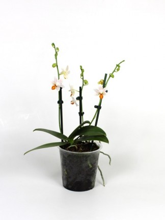 Phalaenopsis Mini Mark 3 virágszáras