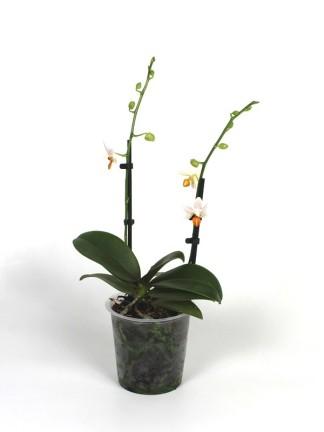 Phalaenopsis Mini Mark 2 virágszáras
