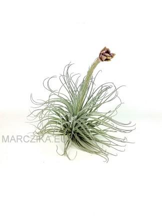 Tillandsia tectorum virágzó