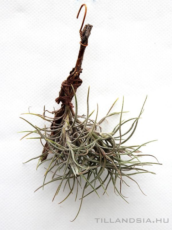 parazita növények)